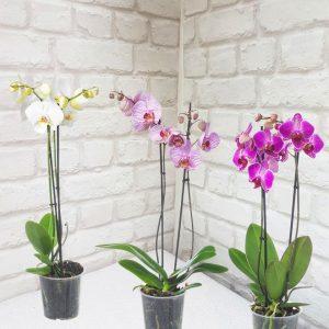 орхидея феленопсис