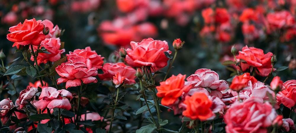 Сколько роз подарить девушке картинка